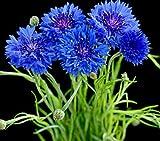 Pinkdose 100PCS / BAG Piante di fiordaliso, bellissimo zaffiro, fiore nazionale della Germania, pianta di bonsai per giardino domestico e davanzale: 12