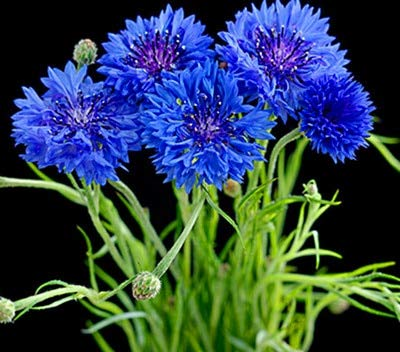 Kristallbox Kristallbox Cornflower