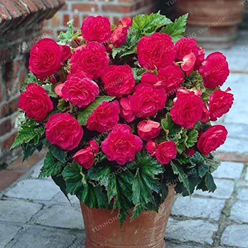 Zoom IMG-3 pinkdose 20 pz begonia bonsai