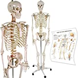 Anatomical Skeleton Model w/ Stand for Medical School Learning Aid Anatomy Class l
