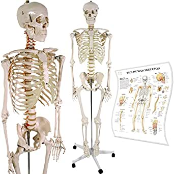 Anatomical Skeleton Model w/Stand for Medical School Learning Aid Anatomy Class l