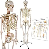 Anatomie Skelett - menschliches Modell - inkl. Schutzabdeckung, Standfuss auf Rollen und Lehrgrafik - lebensgroß 181 cm