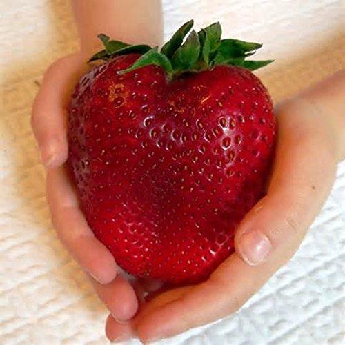 sellify Egrow 100Pcs gigante rojo fresa semillas de la herencia de Super Seeds Japón fresa de jardín