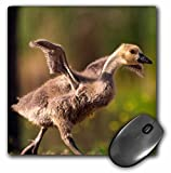Danita Delimont - Geese - USA, California, San Diego, Lakeside. Canada Gosling. - MousePad (mp_205460_1)