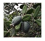 Brasilianische Guave Ananas-Guave Acca sellowiana Feijoa Pflanze 10cm