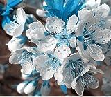 10PCS cielo blu rari semi bianchi di ciliegio, mini bonsai giapponese sakura semi, piante ornamentali