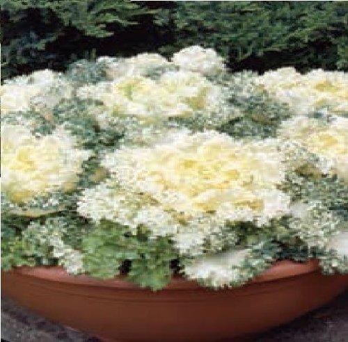 Just Seed Blume Ornament adaptabilit t gegen ber Northern Lights Fringed wei F1 10 Samen -