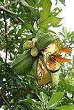 Kolabaum Cola acuminata Pflanze 20cm Kolanuss Kola sehr selten Rarität
