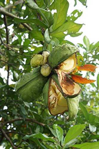 Kolabaum Cola acuminata Pflanze 15-20cm Kolanuss Kola Kolapflanze Rarität