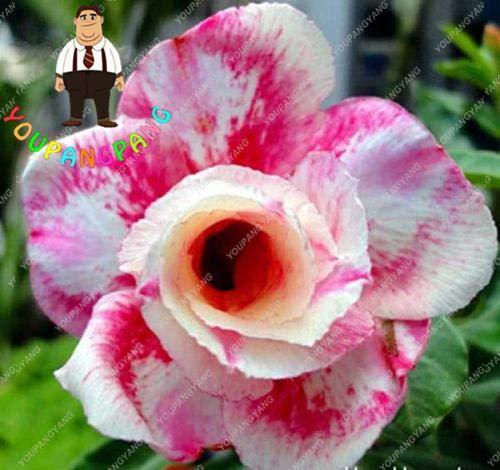 Go Garden 2pcs plants de plantes exotiques Adenium Desert Rose Fleurs en pot Balcon Les plantes du désert-Rose plantation multi-couleurs succulentes: Orange
