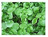 Premier Seeds Direct ORG168 - Semillas para verduras (berro)