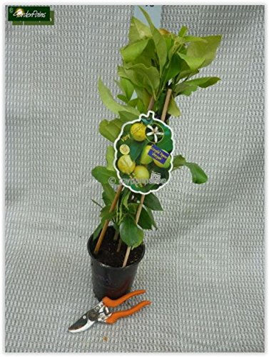 Citrus limon - echter Zitronenbaum - verschiedene Größen (60-80cm - 2ltr.)