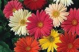 JustSeed Blume Gerbera Jamesonii-Hybriden, 240 Samen, Groß packung