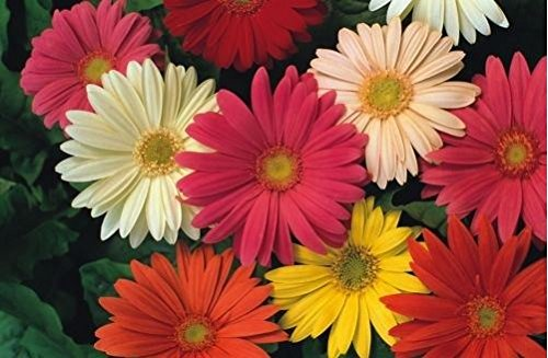 fiore-gerbera-jamesonii-hybrids-30-semi