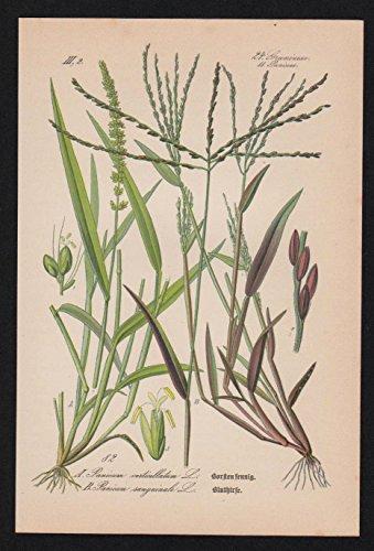 Grafik Blutrote Fingerhirse Lithographie Kräuter Heilkräuter herbs herbal