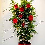 Pinkdose Mandevilla sanderi Piante, Dipladenia sanderi giardino, pianta bonsai del fiore per interni esterni e il cortile di impianto, 100pcs / bag: 3