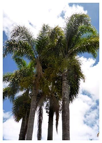 TROPICA -Fuchsschwanz-Palme (Wodyetia bifurcata) 1 Samen