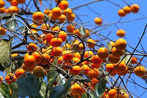 Portal Cool 30 Persimmon Fruit Tree Seeds Diospyros Kaki Startseite Orchard Garden Bäume pflanzen