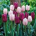 Tulpen Mischung Gander/Passionale von Meingartenshop auf Du und dein Garten
