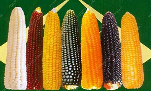 20pcs noir, rouge, arc-en-maïs Semences potagères furit facile à cultiver les semences de haute qualité biologique de légumes pour le jardin à la maison Effacer