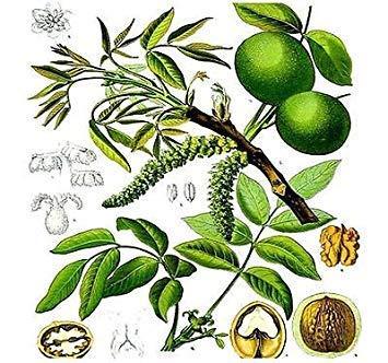 ANVIN Keim Seeds: (5) Englisch Walnuss, Juglans Regia Samen Samen - Excellent Shade Samen -