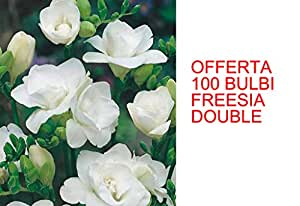 OFFERTA 100 BULBI PRIMAVERILI FREESIA DOUBLE WHITE BULBS