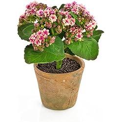 artplants Künstliche KalanchoeFAJRA mit Blüten, weiß-rosa, 22 cm - Deko Blume/Kunst Pflanze