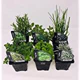 6 plantas de hierbas, incluyendo hierbas como romero, cilantro, menta, cebollino, lavanda, macetas de 9 cm, listas para plant