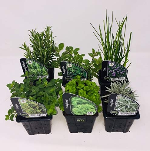 6 x Herb Plants - Including Herbs Like Rosemary - Coriander - Mint - Chives - Lavender - 9cm Pots Ready to Plant