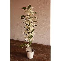 Orquídea Dendrobium Nobile (1 vara de flores) - Planta viva de interior