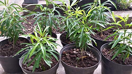 PLAT FIRM Germinazione I semi PLATFIRM-coreano Evodia, semi di albero Bee Bee Tree Fast, fragrante 50 Evodia Danielli