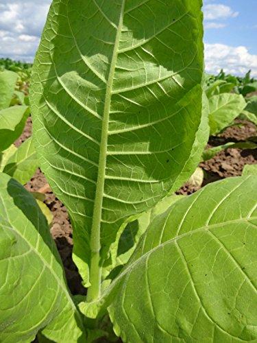 Orienttabak 'Samsoun' (Nicotiana tabacum) 500 Samen