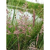 Portal Cool 1 LTR: Glyceria Maxima (Reed Sweet Grass) - Marginales Plantas Pond - Estanque Plantas - Agua
