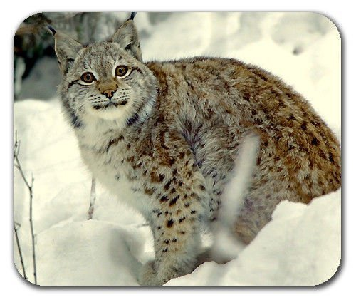 bobcat-animal-nature-wildlife-smile-for-the-camera-mouse-pad-mousepad-mat