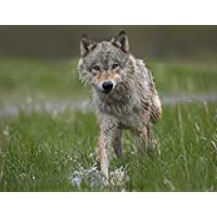 HeritageArtDecor Gray Wolf Walking Through Water, North America - Fine Art Print on Fine Art Canvas - Print ON Canvas ONLY -NO Frame - Image Size is 31 x 23 Inch Wall Painting