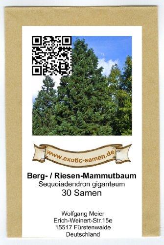 Berg-Mammutbaum - Bergmammutbaum - Sequoiadendron giganteum - 30 Samen