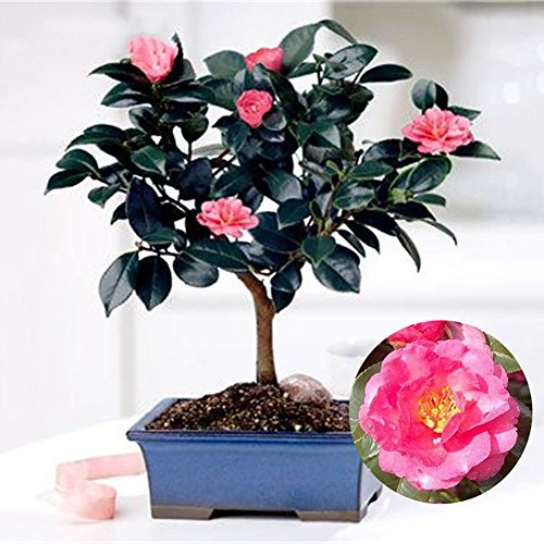Kalaokei 10Pcs Chinese Green Tea Tree Seeds Camellia Sinensis Garden Bonsai Plant Flower