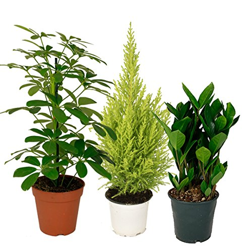 zimmerpflanzen-mix-1-3er-set-im-12-14er-topf