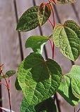 TROPICA - Lebkuchenbaum (Cercidiphyllum japonicum) - 200 Samen