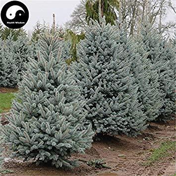Kaufen Picea Pungens Tanne Samen 120pcs Pflanze Blue Spruce Tree Chinese Lan Shan