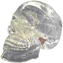 Modelo anatómico de calavera, -3 partes- Tapa de cristal extraíble, incluye un juego completo de dientes, herramienta de enseñanza de intervención de rayos X neurológicos