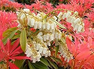 9cm Pot Pieris Forest Flame Large Evergreen Garden Shrub Plant
