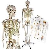 Anatomie Skelett   inkl. Schutzabdeckung, Standfuss auf Rollen und Lehrgrafik, Lebensgroß, 181.5 cm   Menschliches Modell