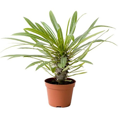 madagascar-palm-pachypodium-lamerei-stem-succulent-plant-easy-to-care-for-add-an-exotic-touch-to-you