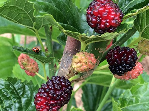 Mulberry Plant Pictures