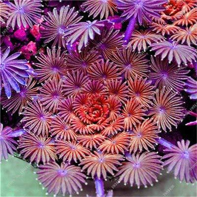 Rara casa de plantación del jardín de flores s O.versicolor Flores Semillas; envío libre 100 PCS Oxalis versicolor flores plantas World & # 39: Naranja