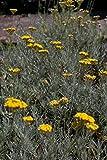 Helichrysum italicum - Currykraut - Strauchstrohblume - Italienische Strohblume - Italienische Immortelle - Italienisches Sonnengold - Die Unsterbliche - Heilpflanze - Medizinpflanze - Duftpflanze - Gewürzpflanze