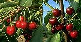 Duo Kirsche Obstbaum Kirschbaum Hedelfinger große schwarze Knorpelkirsche 100-150 cm im Topf