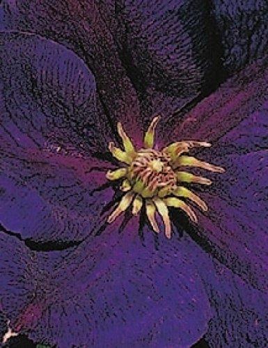 Clematis Jackmanii (Clematis hybride Jackmanii Superba (60 - 100 cm) - Waldrebe / Klematis)
