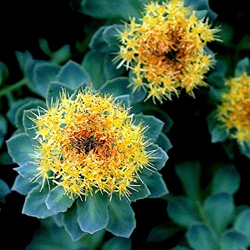 Farmerly Neue Rosenwurz Stonecrop Golden Rose Wurzel Sedum Rhodiola Rosea gelbe Blume 25+ Seeds - Rhodiola Rosea Wurzel -